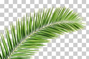 Arecaceae Palm Branch Leaf Tree PNG