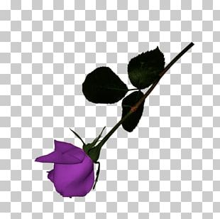 Petal Rose Family Twig Plant Stem Leaf PNG