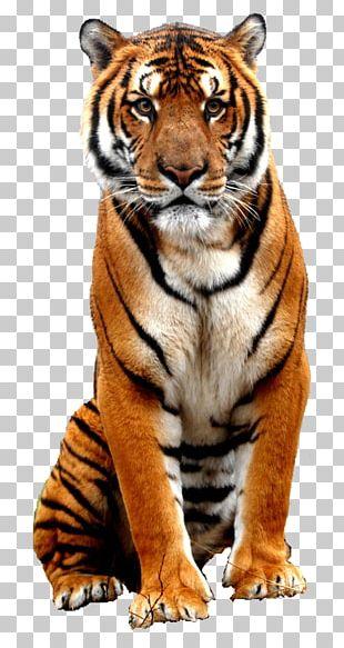 Bali Tiger Bengal Tiger Sumatran Tiger PNG