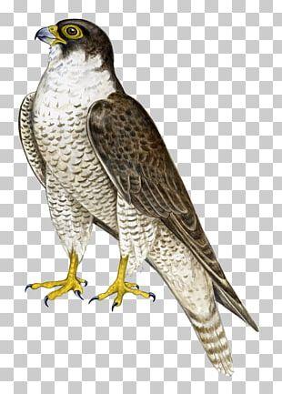 Bird Hawk Falcon Flight PNG