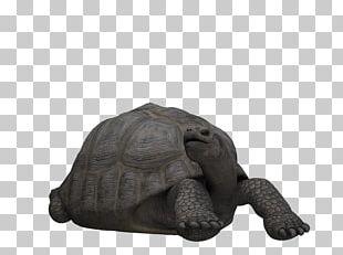 Tortoise Loggerhead Sea Turtle Reptile PNG