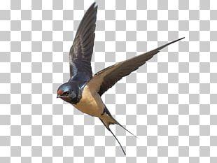 Edible Bird's Nest Bahama Swallow Barn Swallow PNG