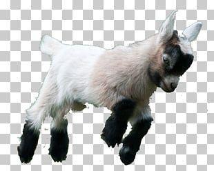 Goat Simulator Boer Goat Fainting Goat American Lamancha Goat Pygmy Goat PNG