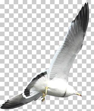 European Herring Gull Flight Bird Common Gull PNG