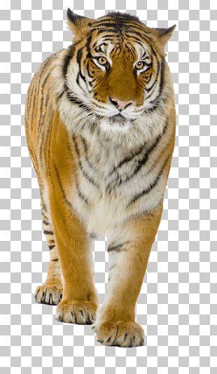 Tiger Lion PNG