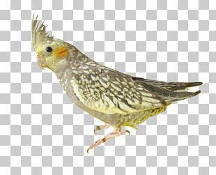 Parrot Parrot Bird PNG