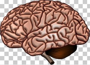 Human Brain Neuroscience Cerebrum Neuroimaging PNG