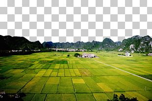 Paddy Field Rice Agriculture PNG
