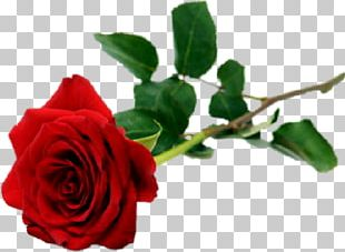 Rose Flower Red White Valentine's Day PNG