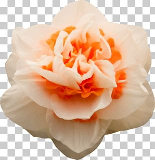Cut Flowers Floral Design Petal Garden Roses PNG