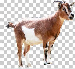 Goat Milking Animal Sales PNG