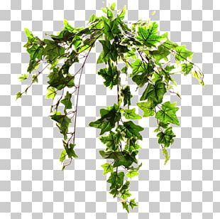 Common Ivy Plant Stem Vine Tree PNG