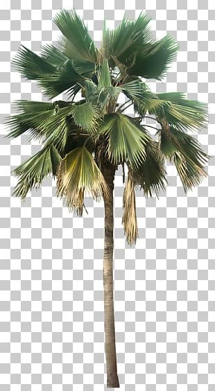 Washingtonia Robusta Washingtonia Filifera Pritchardia Pacifica Arecaceae PNG