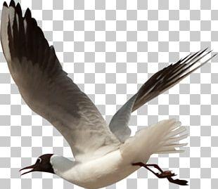 European Herring Gull Bird Gulls Beak Feather PNG