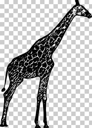 Black And White Northern Giraffe Drawing PNG