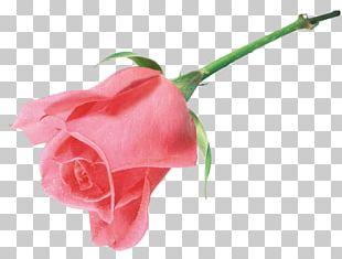 Still Life: Pink Roses Beach Rose Flower PNG