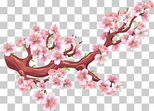 Cherry Blossom Drawing Illustration PNG