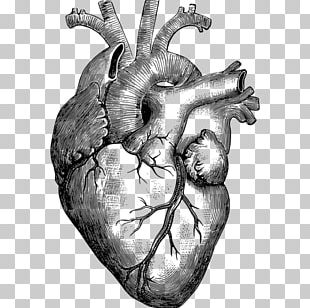 Anatomy Heart Drawing Diagram PNG