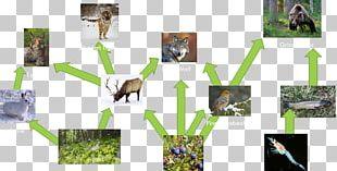 Moose Siberian Tiger Food Web Food Chain PNG