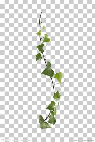 Common Ivy Virginia Creeper Vine Leaf Plant PNG