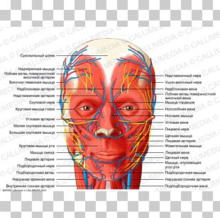 Head And Neck Anatomy Blood Vessel Nerve Supratrochlear Artery Human Head PNG