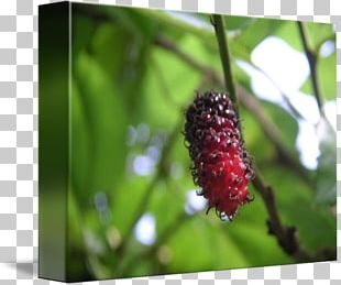 Red Mulberry Loganberry Boysenberry Tayberry Kind PNG