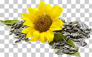 Sunflower Seed Common Sunflower Food Nuts PNG