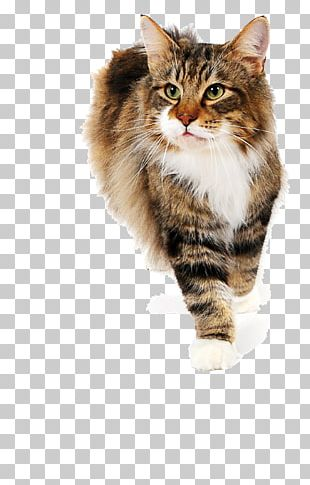 Siberian Cat Maine Coon Norwegian Forest Cat Whiskers British Semi-longhair PNG
