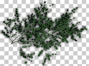 Evergreen Pine Family Leaf PNG