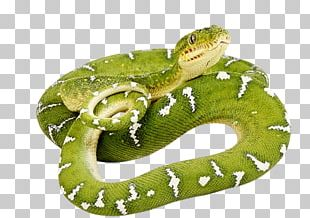Snakes Smooth Green Snake Vipers Reptile PNG