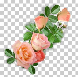 Garden Roses Cabbage Rose Floribunda Floral Design Cut Flowers PNG