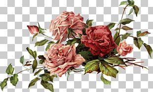 Garden Roses China Rose Cabbage Rose Floribunda Beach Rose PNG