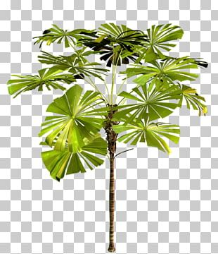 Arecaceae Tree Asian Palmyra Palm Plant PNG