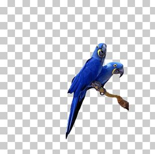 Hyacinth Macaw Lears Macaw Parrot Bird Cockatiel PNG