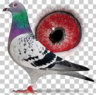 Columbidae Homing Pigeon Racing Homer Bird Beak PNG