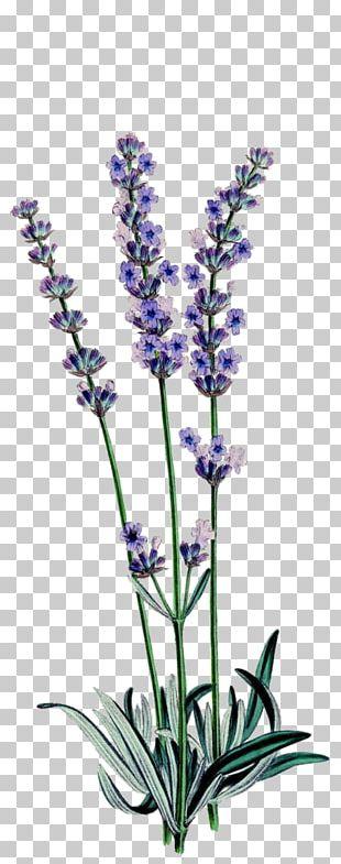 English Lavender Botanical Illustration Botany Drawing Lavender Oil PNG