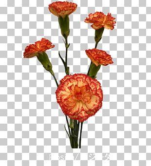 Cut Flowers Colibri Flowers S.A. Carnation Petal PNG