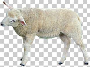 Sheep Cattle Goat Wildlife Terrestrial Animal PNG