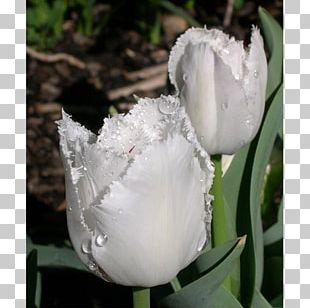 Tulip Petal Plant Stem Herbaceous Plant PNG
