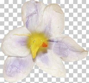 Crocus Moth Orchids Family Violet PNG