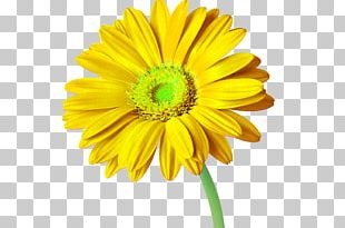 Cut Flowers Transvaal Daisy Daisy Family Common Sunflower PNG