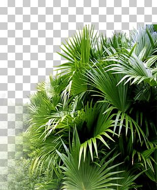 Asian Palmyra Palm Leaf Ornamental Plant Horticulture PNG