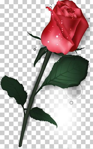 Garden Roses Valentine's Day Flower Beach Rose PNG