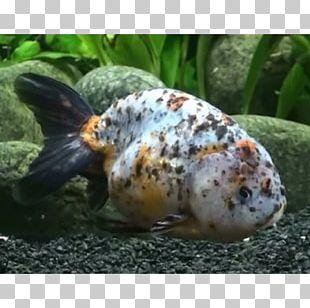 Ranchu Ryukin Lionhead Common Goldfish Veiltail PNG