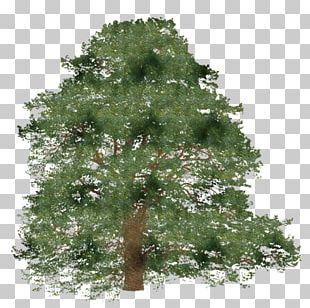 Tree Spruce Branch Shrub PNG