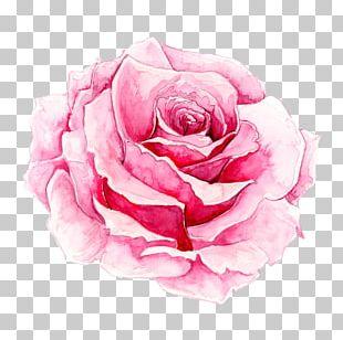 Rosa Chinensis Watercolor Painting Pink PNG