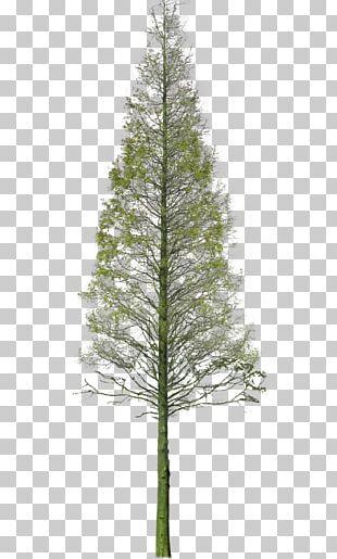 Spruce Garden Tree PNG