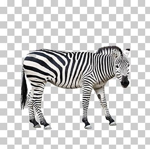 Zebra Stock Photography PNG