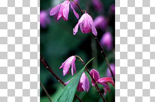 Annual Plant Spring Herbaceous Plant Purple Flowering Plant PNG