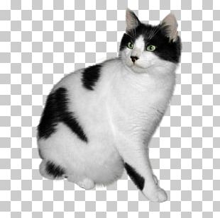 American Wirehair Kitten American Shorthair Turkish Angora PNG